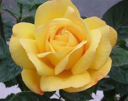 Yellow Roses Makeagif Dream Grey