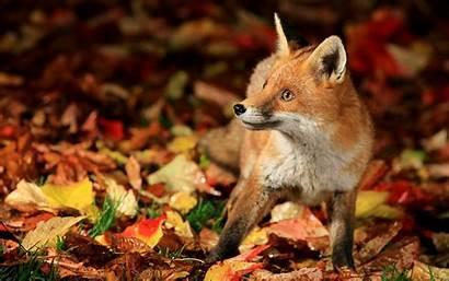 Fox Fall Autumn Desktop Wallpapers Animals Leaves
