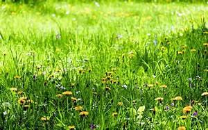 Rasen Düngen Bei Sonne : kostenlose bild blume pflanzen rasen wiese natur sommer feld grasgr n ~ Indierocktalk.com Haus und Dekorationen