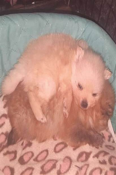 Teacup Pomeranian Dog Many Indoor April Kaynak