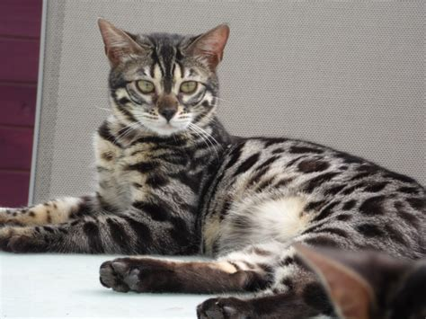 Bengal Cats For Rehoming  Hornchurch, Essex Pets4homes