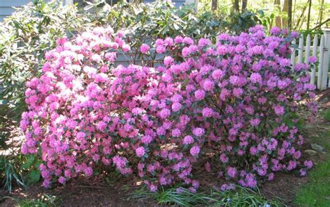 flower shrubs flowering shrubs can fit the bill newstimes