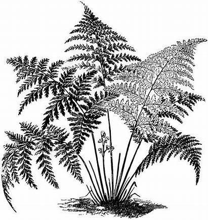 Fern Clipart Ferns Drawing Drawings Plants Plant