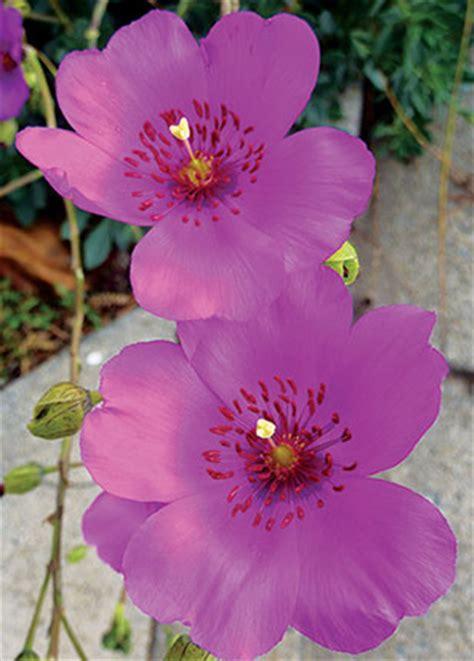 calandrinia spectabilis buy   annies annuals