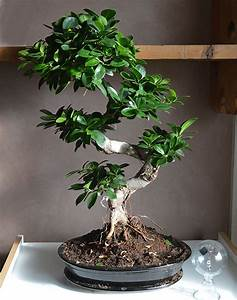 Bonsai Ficus Ginseng : bonsai plante ~ Buech-reservation.com Haus und Dekorationen