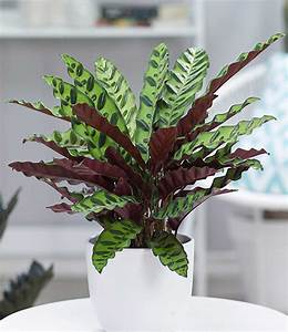 Calathea Blätter Rollen Sich Ein : calathea 39 lancifolia 1a zimmerpflanzen online kaufen baldur garten ~ Orissabook.com Haus und Dekorationen