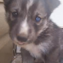 Siberian Husky Wolf Mix Puppies for Sale