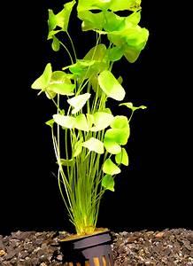 Aquarium Pflanzen Schnellwachsend : 1 topf mini seerose taiwan flipper nymphoides sp taiwan flipper ebay ~ Frokenaadalensverden.com Haus und Dekorationen