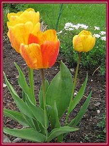 Tulpen Im Garten : unser garten april 2008 tulpe ~ A.2002-acura-tl-radio.info Haus und Dekorationen