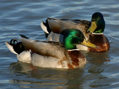 mallard duck swimming bird wallpaper