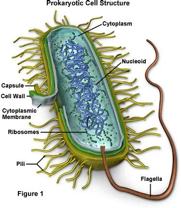 Molecular Expressions Cell Biology Bacteria Structure