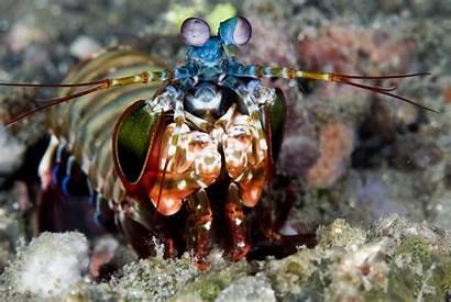 Shrimp Mantis Animals Superpowers Peacock Computer Incredible