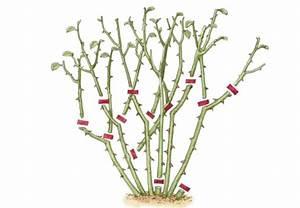 Heidelbeeren Pflanzen Zeitpunkt : rosen schneiden in 4 schritten obi anleitung ~ Orissabook.com Haus und Dekorationen