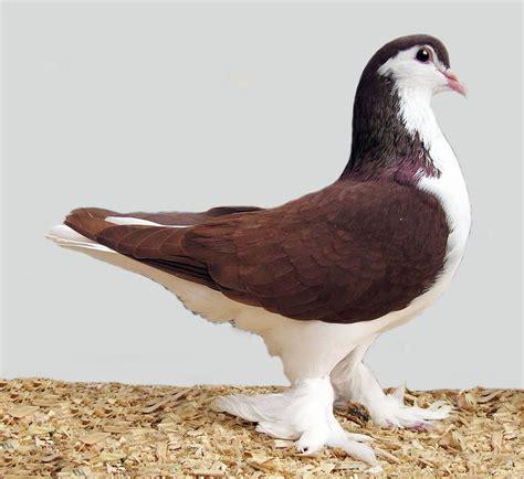 کبوتر ریش pigeon beard کبوتر ساده