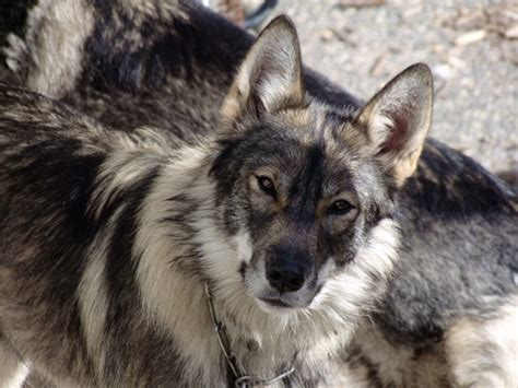 Photo Gallery Adult Wolfhybrid