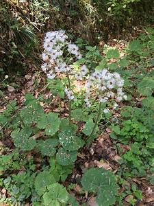 Unkraut Weiße Blüte : unkraut bestimmen bilder ~ Lizthompson.info Haus und Dekorationen