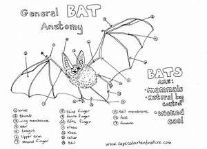 Bat Anatomy Chart