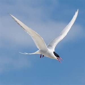The story of the Artic tern – GardenBird