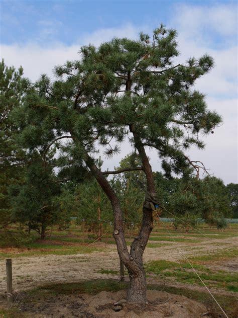 Pinus Sylvestris  Gewöhnliche Kiefer, Waldkiefer, Föhre