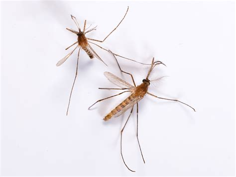 images for mosquito mosquito control tips how to get rid of mosquitoes