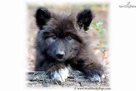 Black Wolf Puppy   Bla...