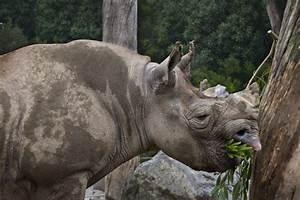 Eastern Black Rhino Eating | ClipPix ETC: Educational ...