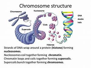 Image Result For Chromosome Loops
