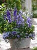 growing delphiniums in pots gap gardens delphinium elatum magic blue canula persicifolia canula