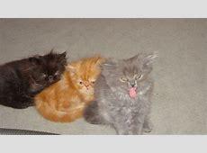 Biete hier eine von Perser katzen in mayen Tiere
