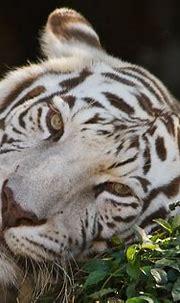 Pin by Mhauke on Animais | Tiger, White tiger, White ...