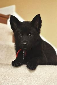 Black German Shepard pup awww so sweet | Animals ...