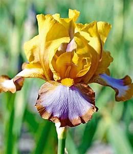 Sind Ranunkeln Winterhart : iris brown lasso top qualit t online kaufen baldur garten ~ Markanthonyermac.com Haus und Dekorationen