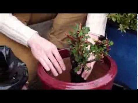 comment planter les rosiers en pot