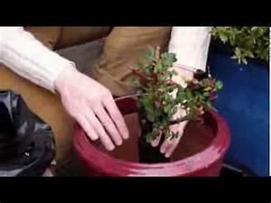 Comment Tailler Les Rosiers : comment planter les rosiers en pot youtube ~ Nature-et-papiers.com Idées de Décoration