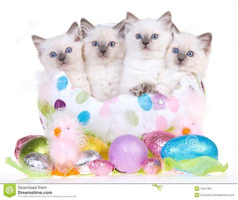 4 easter ragdoll kittens stock image