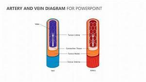 Arteries And Veins Diagram