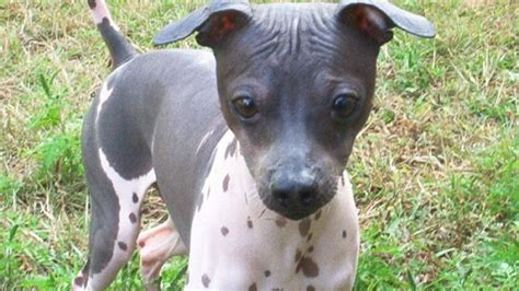 Researchbreeder Com Find American Hairless Terrier