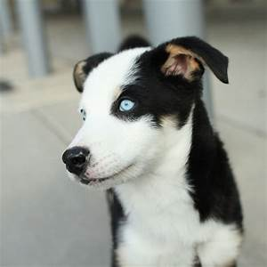 husky puppy mix