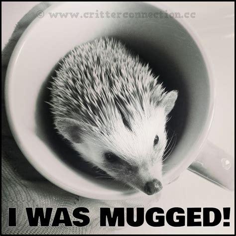 Hedgehog Meme - hedgies hedgehogs meme lol millermeade cute funny adorable www critterconnection cc