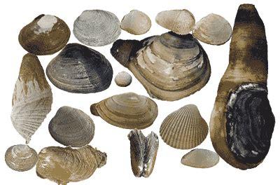 odfw bay clam identification