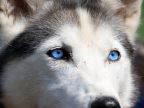 Huskies with Blue Eyes