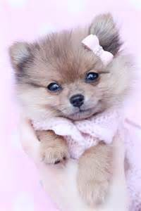 Teacup Pomeranian Puppies Dog