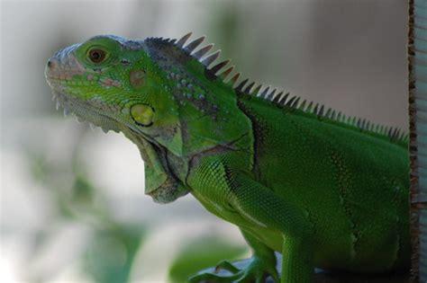 Green Lizard - Hawk's Cay Resort - Florida Keys | Flickr ...