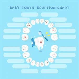 Deciduous Teeth Eruption Chart Cartoon Baby Tooth Eruption Chart Stock Vector