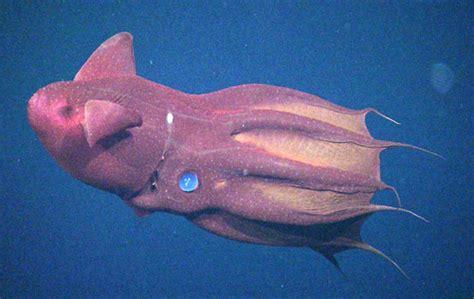 vampire squid  long  reproduce  mbari