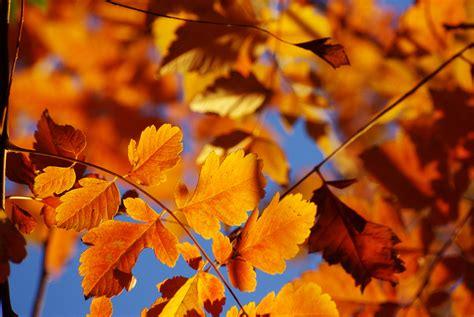 Orange Leaf Wallpaper by Orange Leaf Tree Horses Hd Wallpaper Wallpaper Flare
