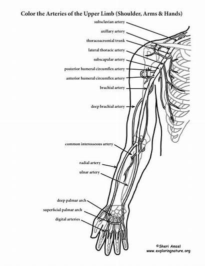 Anatomy Coloring Arteries Upper Human Limb Arm