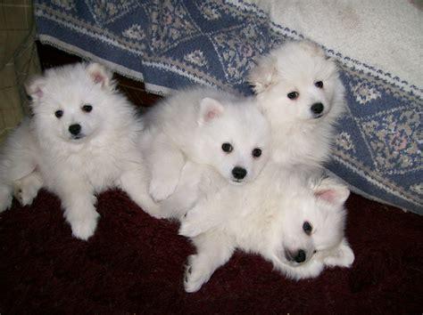 American Eskimo Spitz Shedding by 25 Best American Eskimo Puppy Ideas On