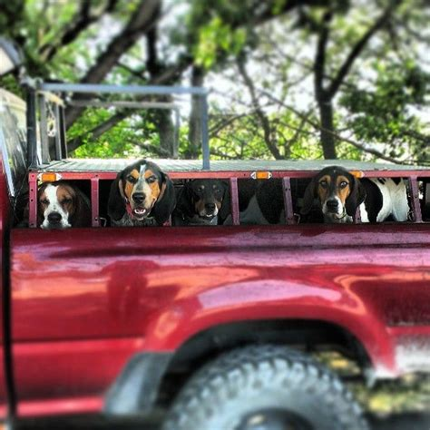 hunting coon hounds  dog boxes  truck   thought