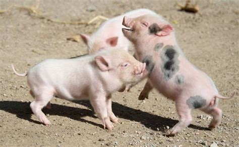 dont mess   mini pig mnn mother nature network